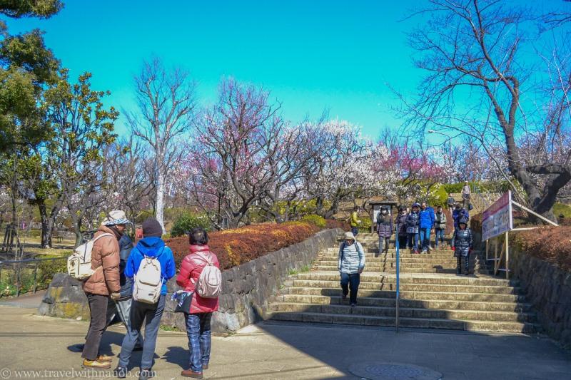 ume-and-sakura-blossom-1