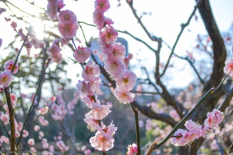 ume-and-sakura-blossom-12