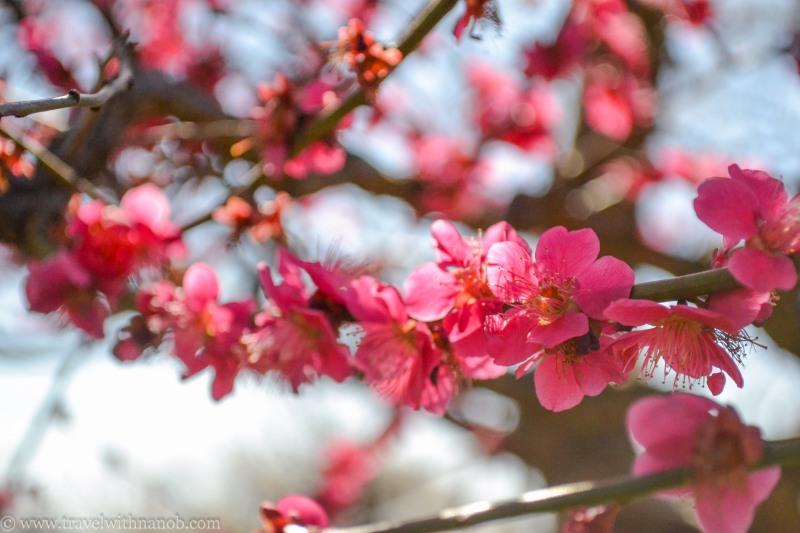 ume-and-sakura-blossom-5
