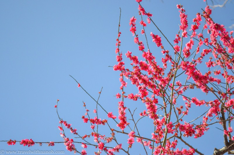 ume-and-sakura-blossom-7