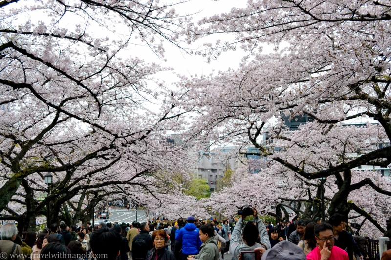 cherry-blossom-tokyo-16