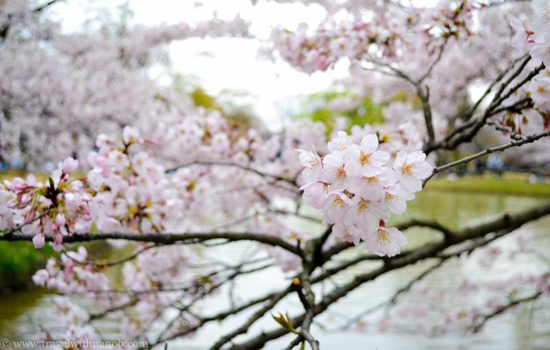 cherry-blossom-tokyo-35