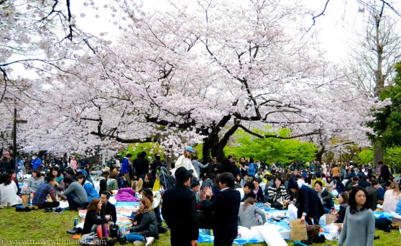 cherry-blossom-tokyo-44