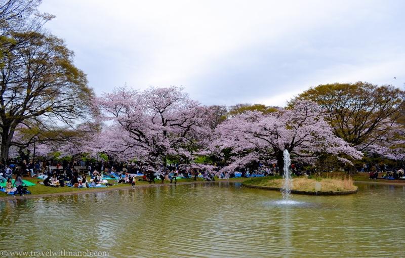 cherry-blossom-tokyo-51