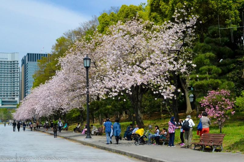 yaezakura-cherry-blossom-1
