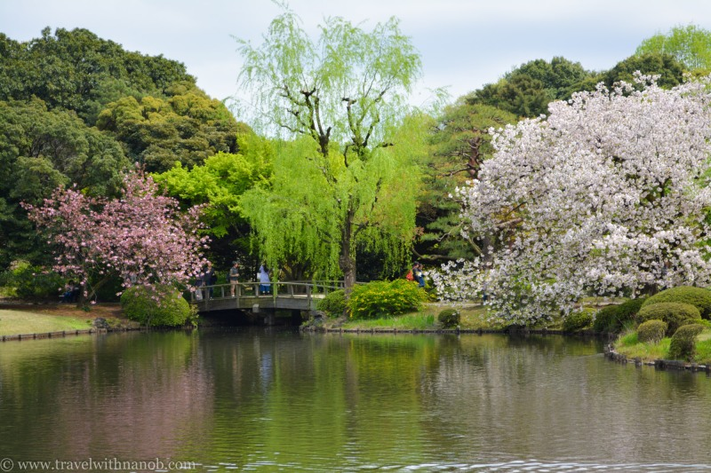 yaezakura-cherry-blossom-18