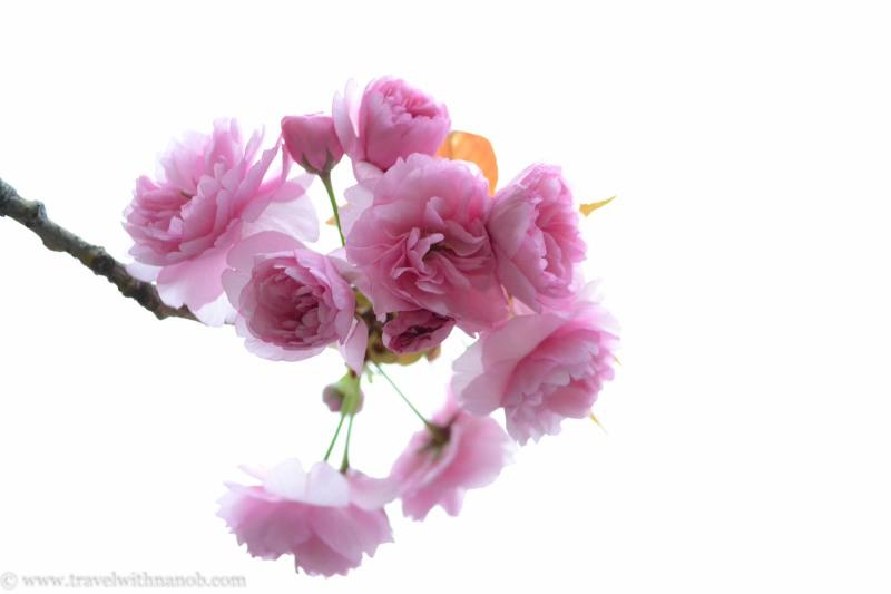 yaezakura-cherry-blossom-2
