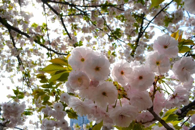 yaezakura-cherry-blossom-25