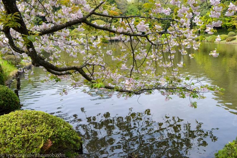 yaezakura-cherry-blossom-29