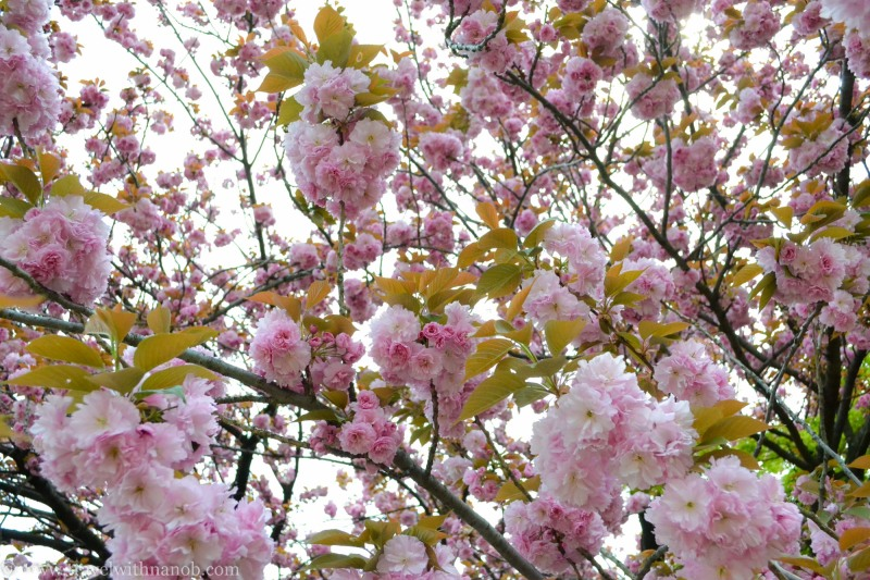 yaezakura-cherry-blossom-34
