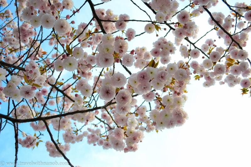 yaezakura-cherry-blossom-44