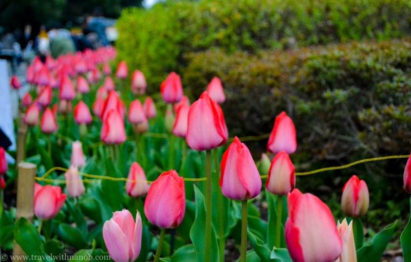 cherry-blossom-tokyo-34