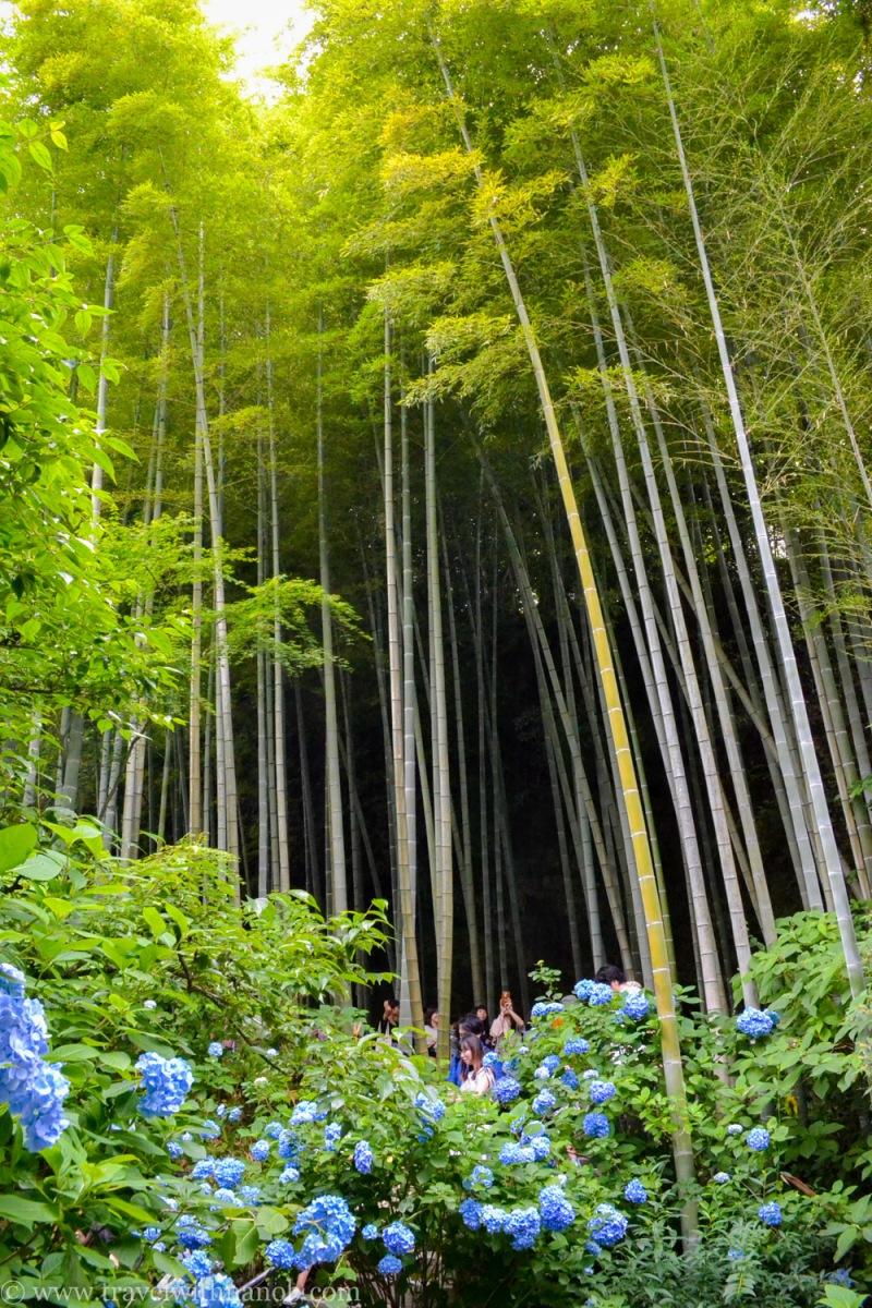 hydrangea-in-kamakura-japan-29