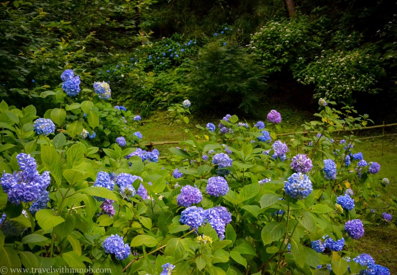 hydrangea-in-kamakura-japan-38