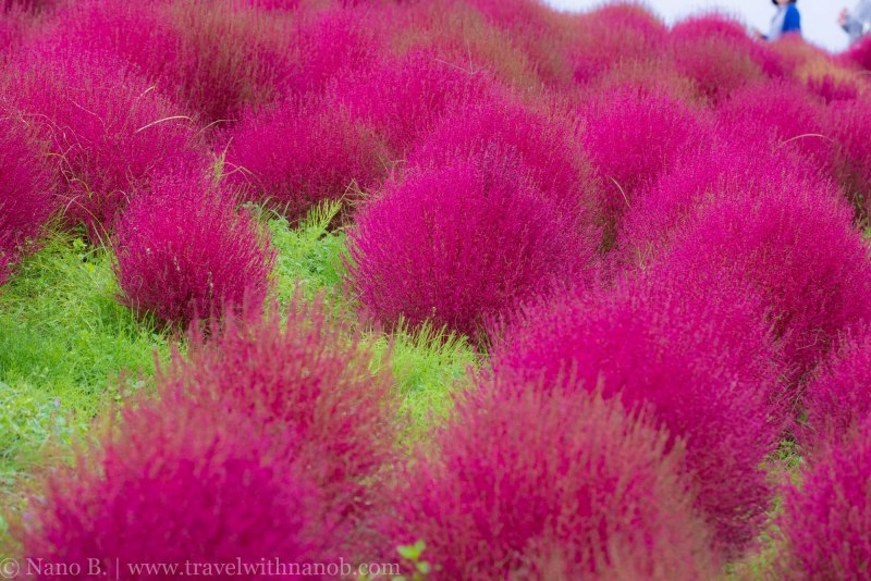 kochia-hitachi-seaside-park-12