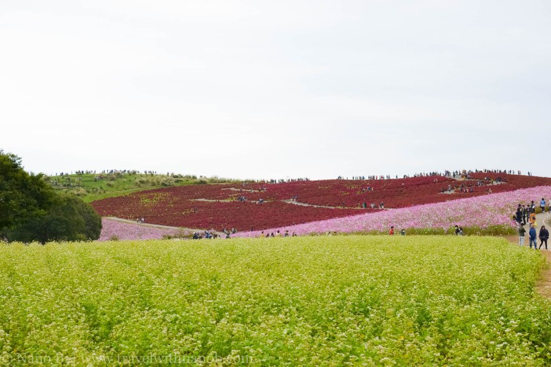 kochia-hitachi-seaside-park-17