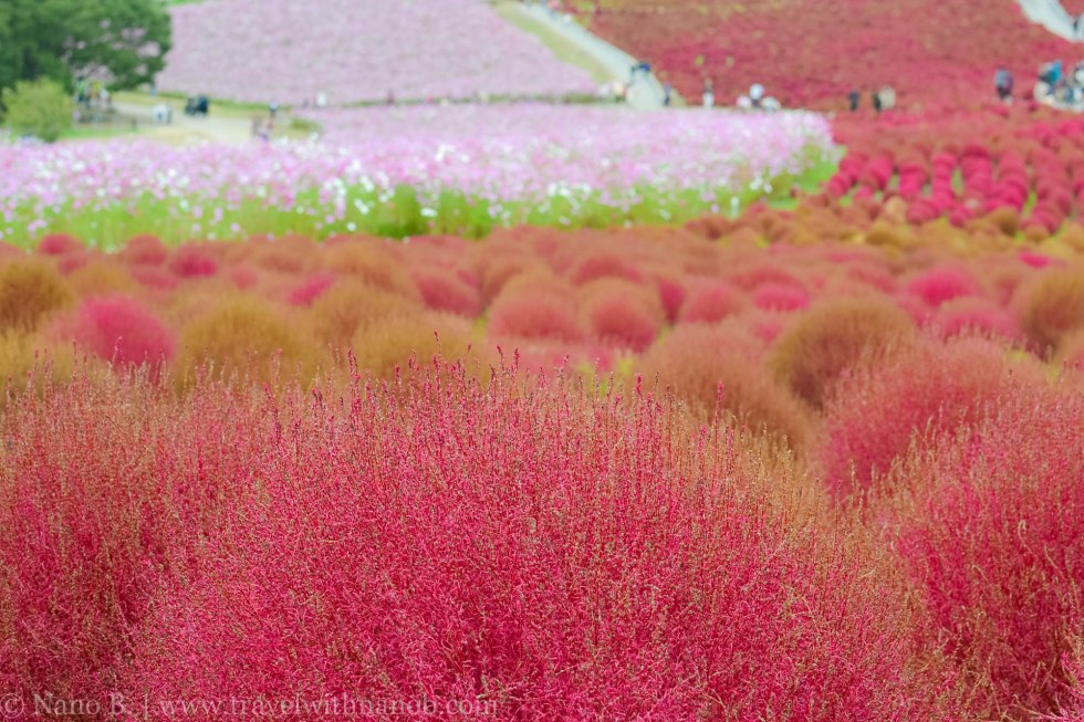 kochia-hitachi-seaside-park-23