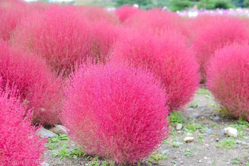 kochia-hitachi-seaside-park-24