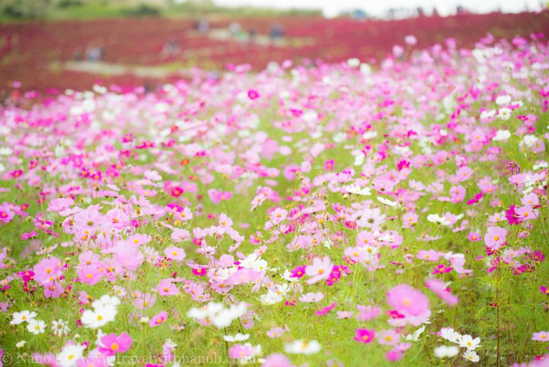 kochia-hitachi-seaside-park-6