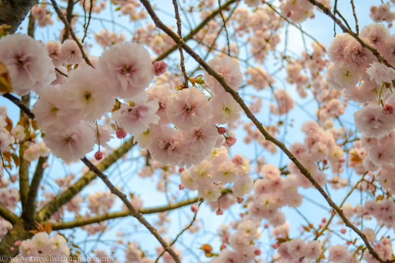 yaezakura-cherry-blossom-43