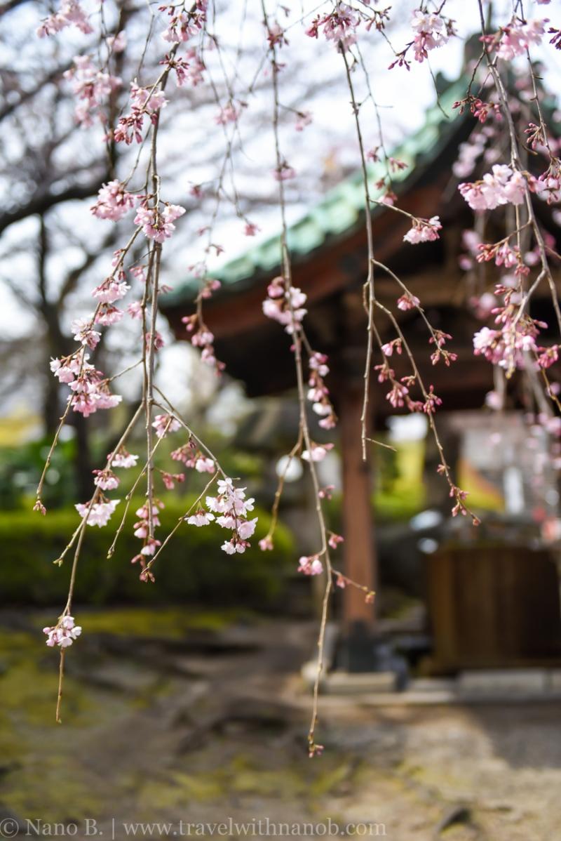 cherry-blossom-tokyo-12