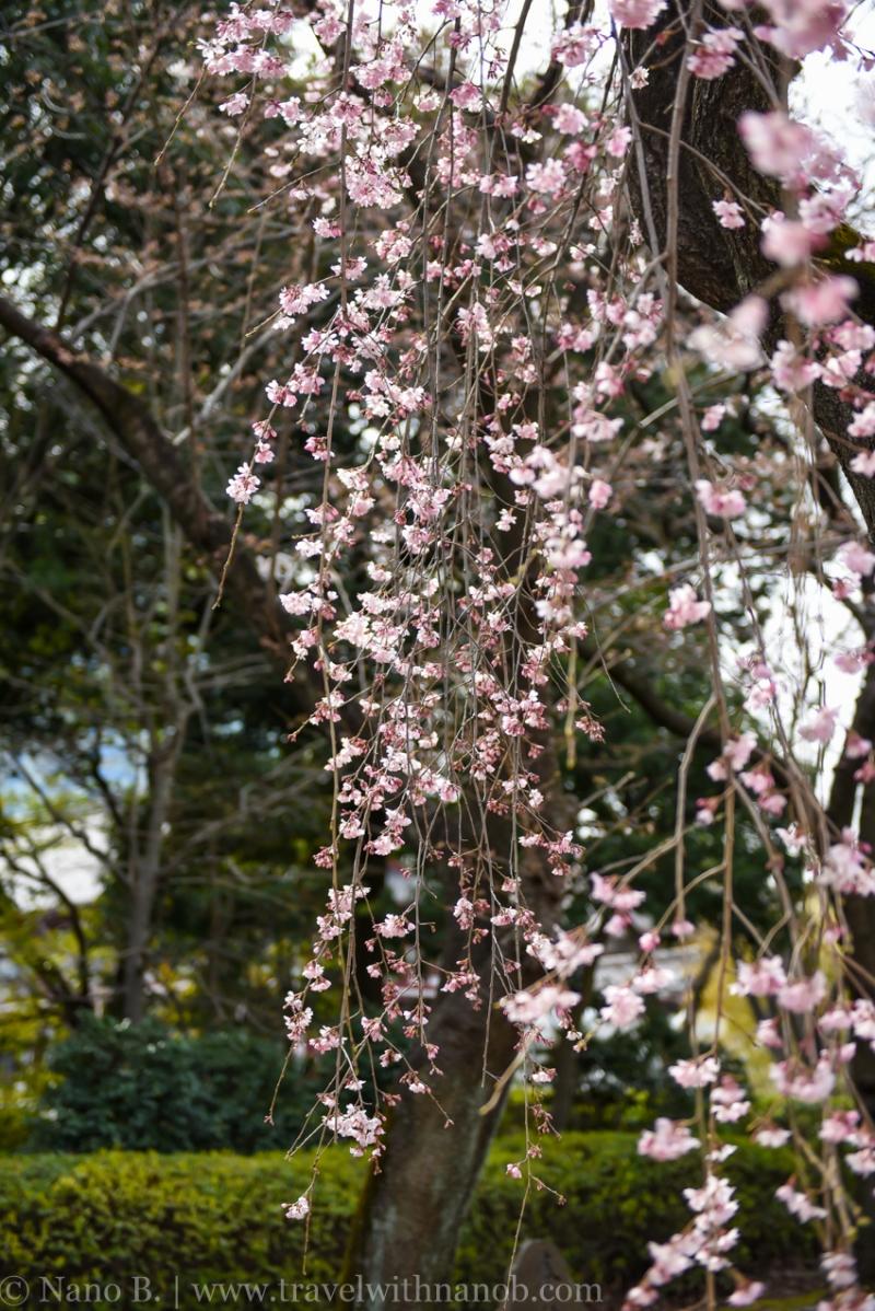 cherry-blossom-tokyo-3
