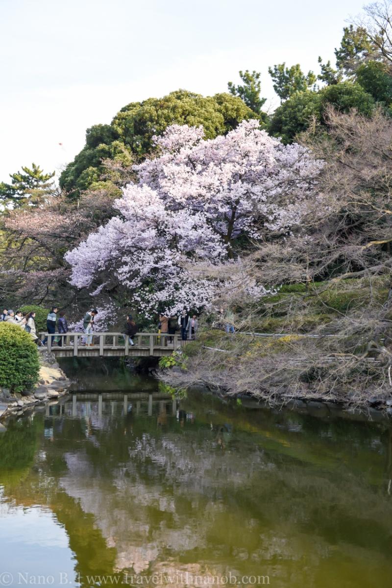 cherry-blossom-tokyo-32
