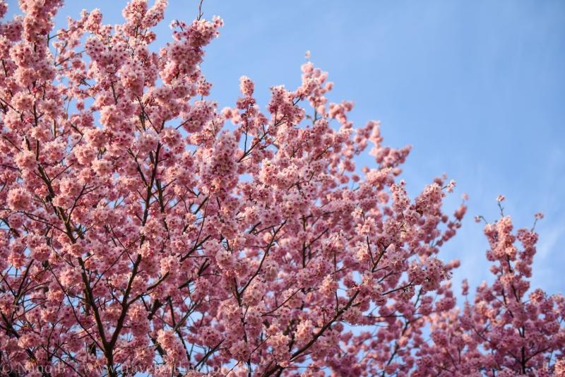 cherry-blossom-tokyo-65