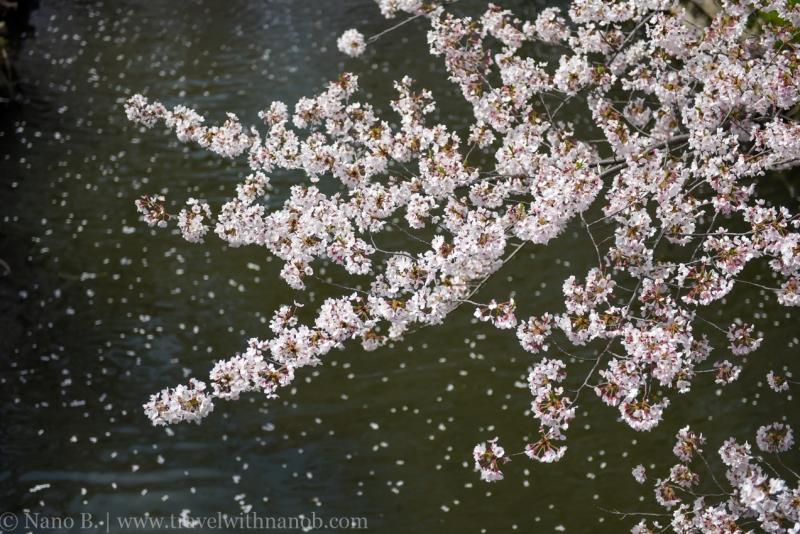 Kawagoe-Cherry-Blossom-24