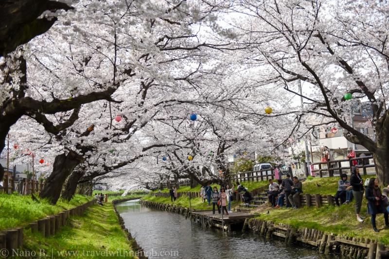Kawagoe-Cherry-Blossom-34