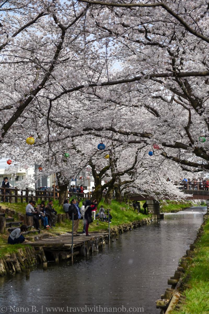 Kawagoe-Cherry-Blossom-35