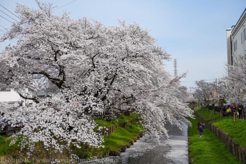 Kawagoe-Cherry-Blossom-45