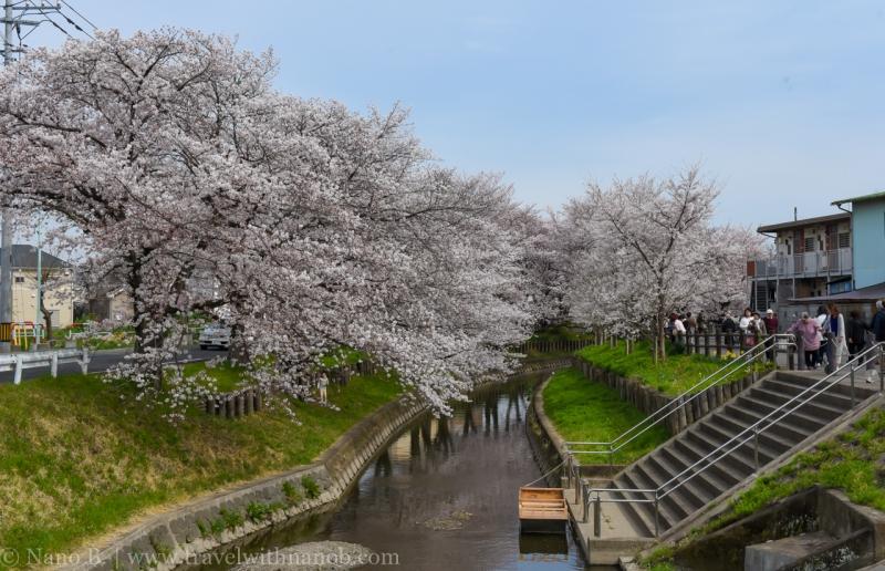 Kawagoe-Cherry-Blossom-48