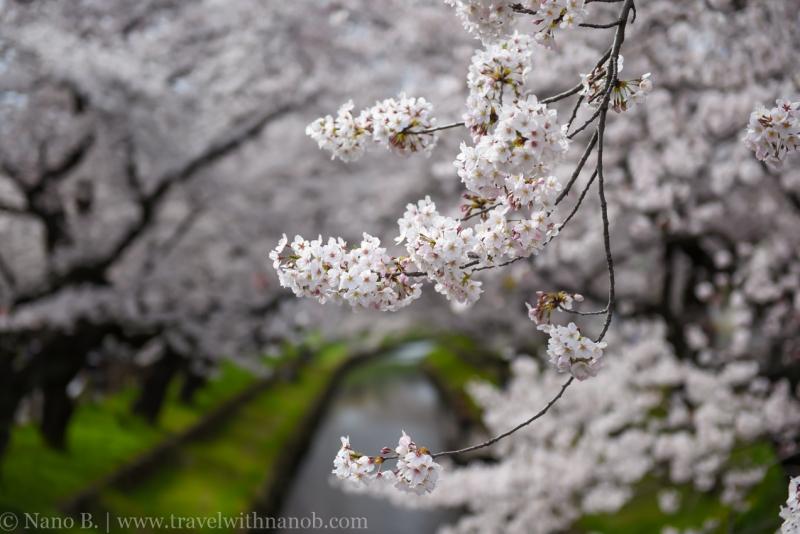 Kawagoe-Cherry-Blossom-51
