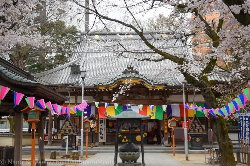 Kawagoe-Cherry-Blossom-74