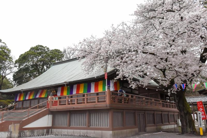 Kawagoe-Cherry-Blossom-84