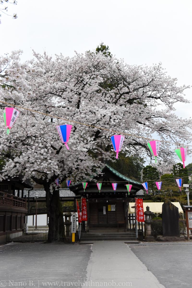 Kawagoe-Cherry-Blossom-85