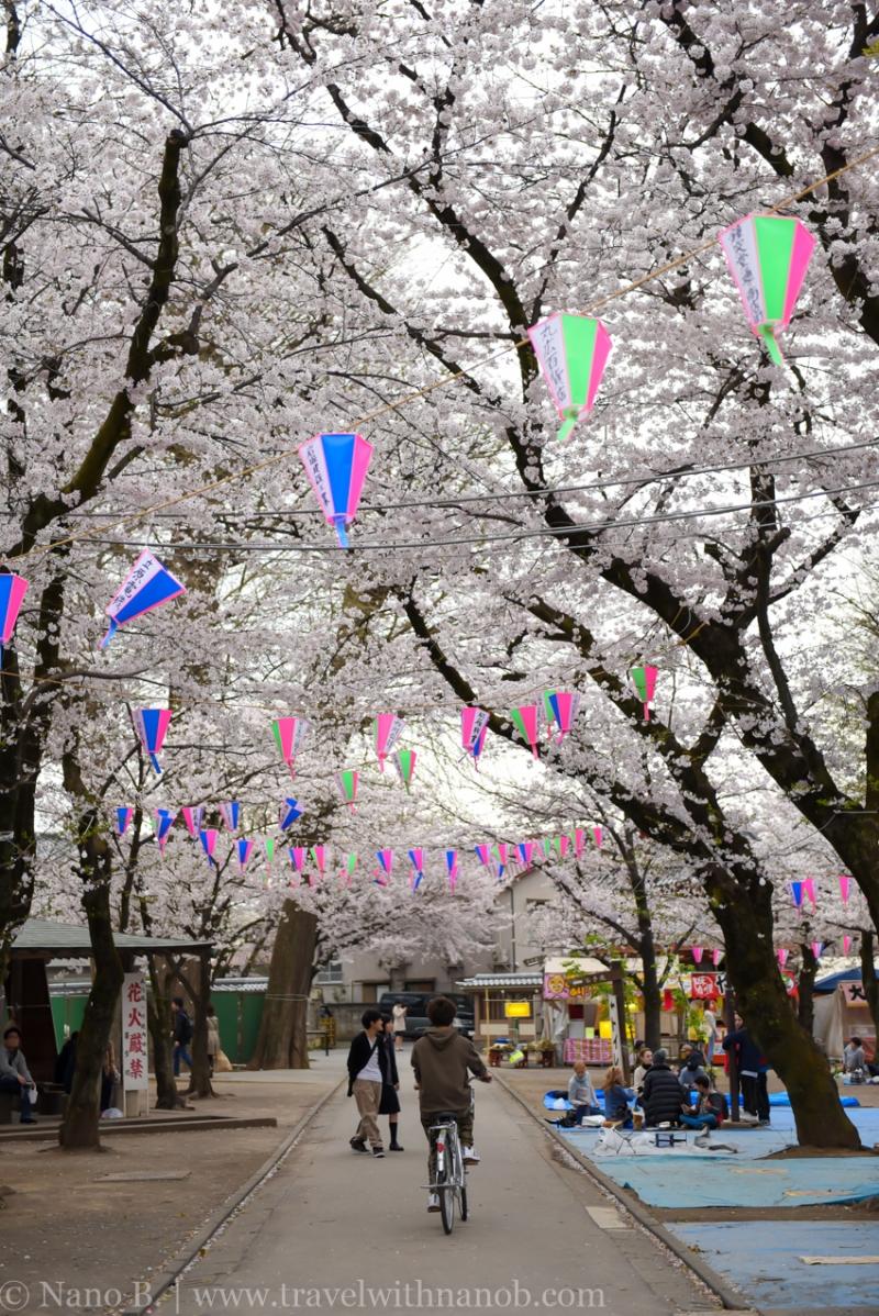 Kawagoe-Cherry-Blossom-87