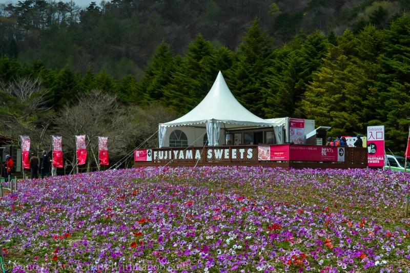 Fuji-Shibazakura-Festival-1