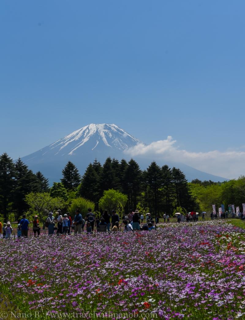 Fuji-Shibazakura-Festival-2