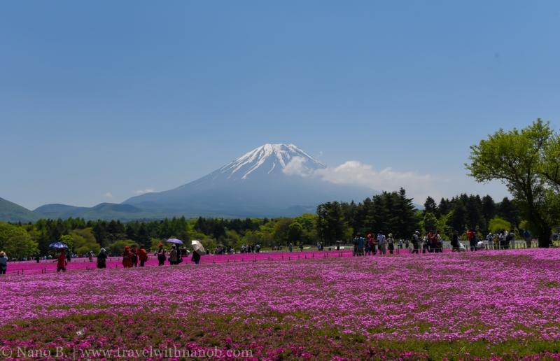 Fuji-Shibazakura-Festival-8