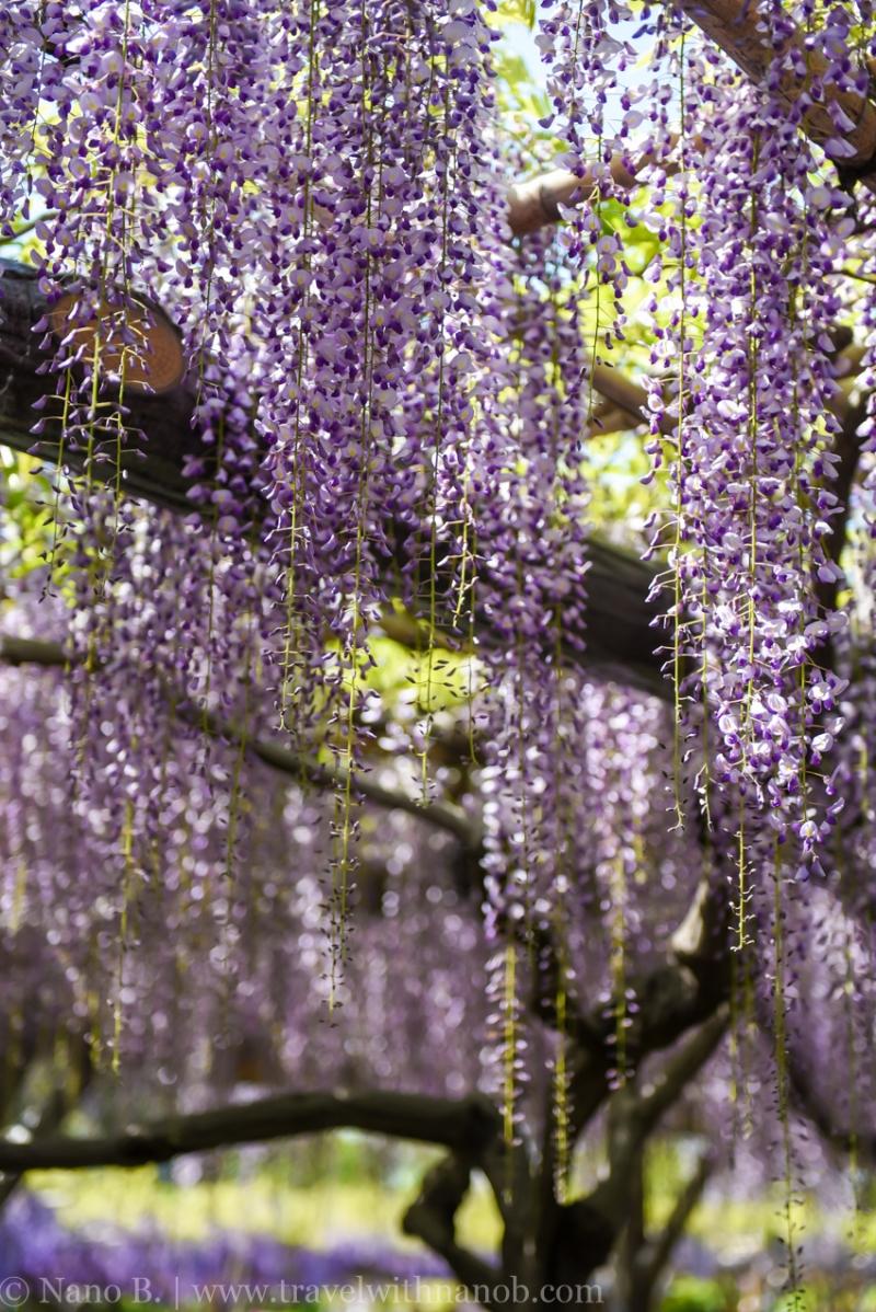 wisteria-in-kameido-tenjin-11