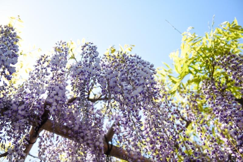 wisteria-in-kameido-tenjin-12