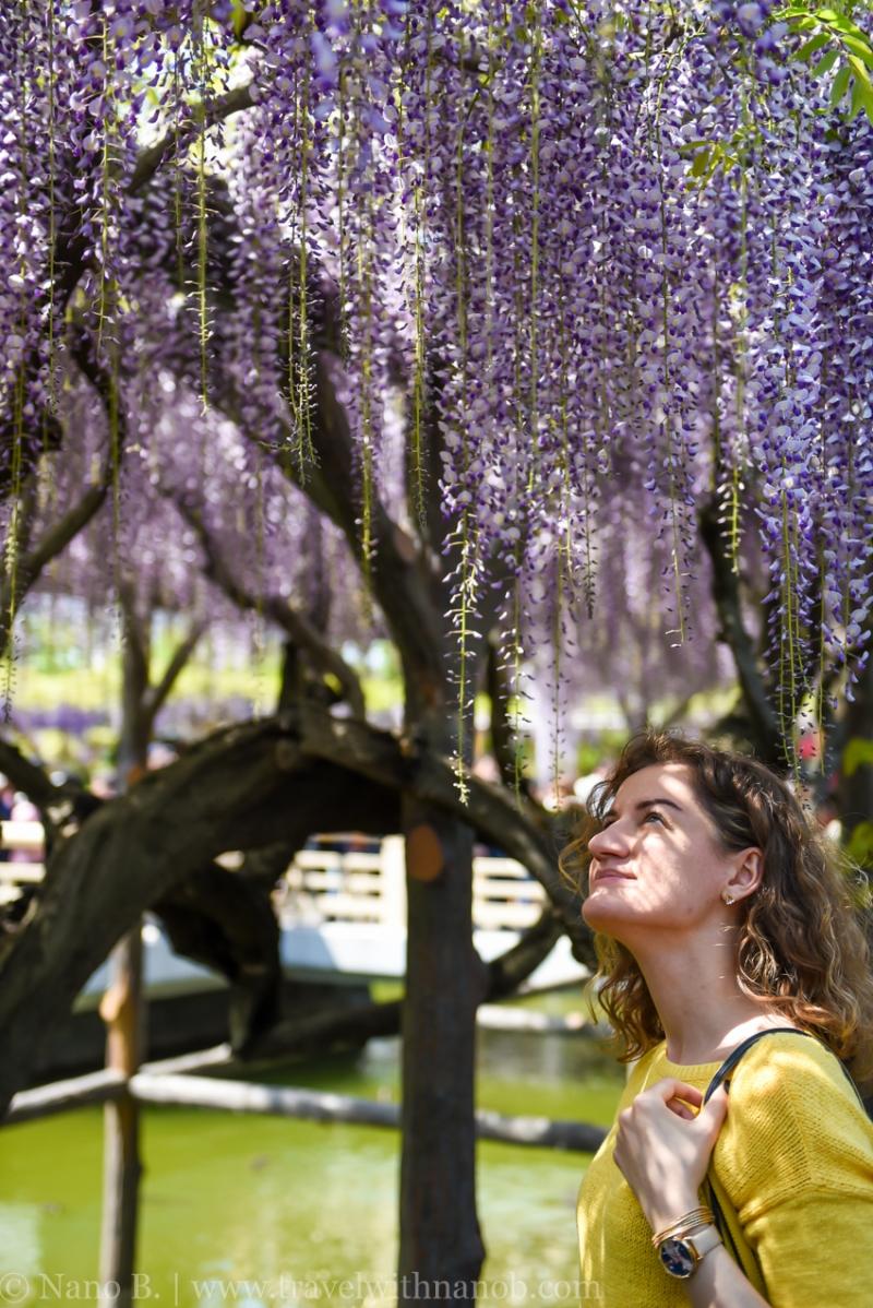 wisteria-in-kameido-tenjin-15