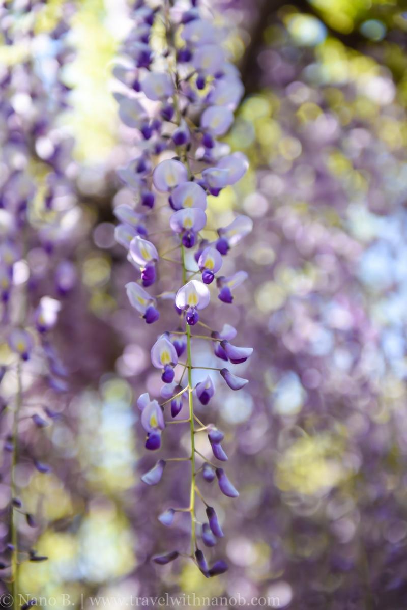 wisteria-in-kameido-tenjin-16