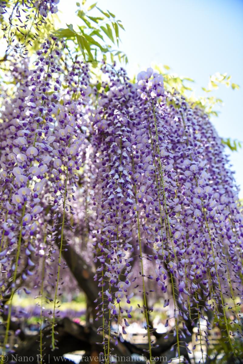 wisteria-in-kameido-tenjin-18