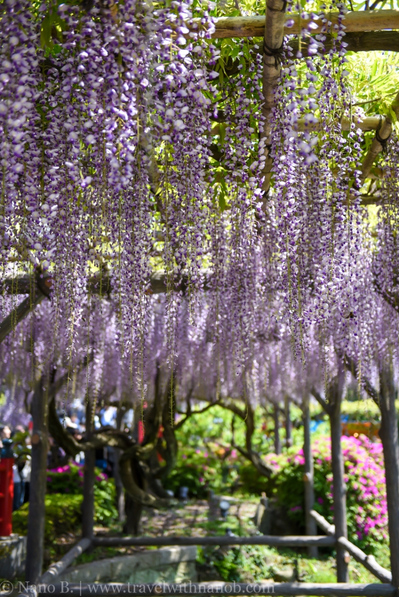 wisteria-in-kameido-tenjin-21