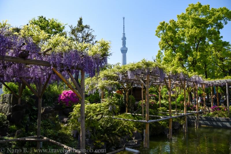 wisteria-in-kameido-tenjin-23