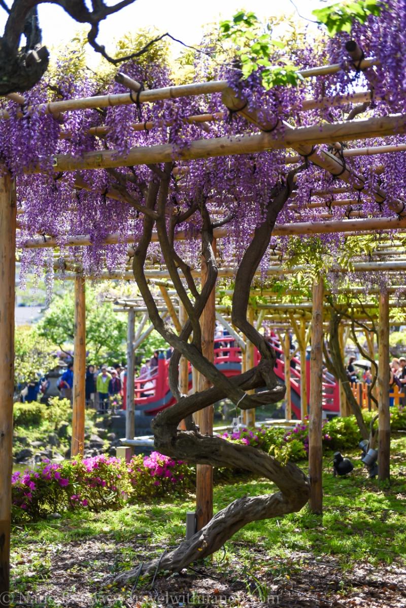 wisteria-in-kameido-tenjin-26
