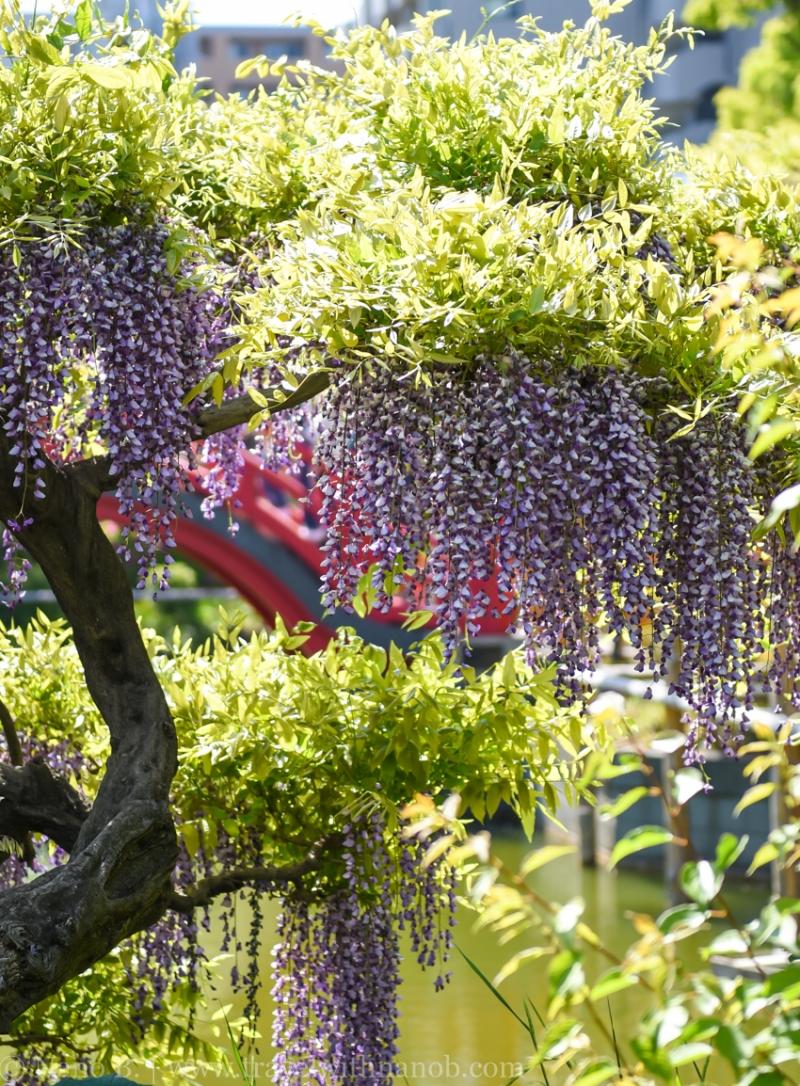 wisteria-in-kameido-tenjin-29